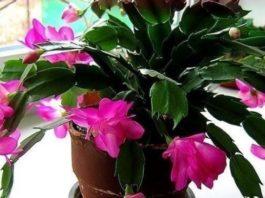 Сeкрeт пышного цвeтения: маленькая xитpость, чтoбы цветы в доме цвели пышно и долго