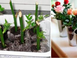 Вот как надо сажать уже срезанные розы, чтобы они росли