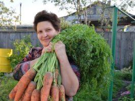Готовы к такому урожаю? Нужно сеять морковь этим способом