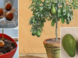 Перестаньте покупать авокадо. Мы знаем как вырастить дерево авокадо дома в горшочке