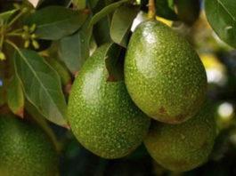 Этот фрукт избавит от высокого давления, сахара в крови, бляшек в сосудах, лишнего веса и морщин