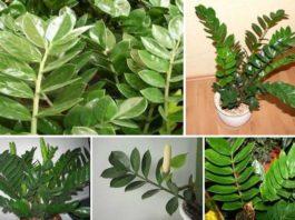 Как ухаживать за «долларовым деревом», чтобы оно пышно росло и цвело. флористы советуют