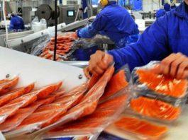 Рыба массового поражения: шокирующие факты о норвежском лососе