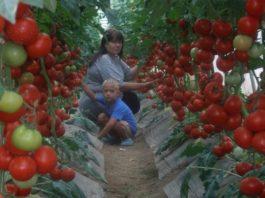 Супер-рецепт для томатов: очень эффективная подкормка