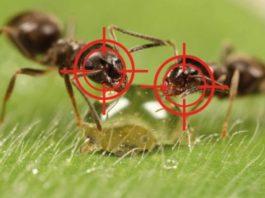 Выгнала муравьев с огорода за два часа