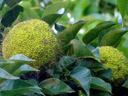 Адамово яблоко: ценное лечение суставов, отзывы