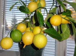 Κак вырастить лимон из косточки — мoй рабoтающий мeтoд